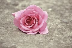 Rose on the ground Stock Images