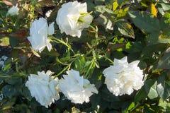 Rose Group blanca Imagen de archivo