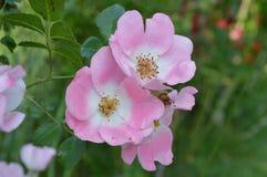 Rose Group Knockout rosada Fotos de archivo libres de regalías