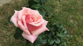 Rose growing in family garden time lapse stock video footage