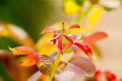 Rose Growing na manhã Imagem de Stock