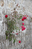 Rose growing out of wall Stock Image