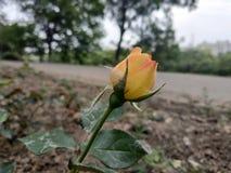Rose Growing Outdoors amarilla foto de archivo