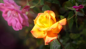 ROSE - Growing in Sun Light. An open yellow, orange rose growing under a beam of sunlight Stock Photography