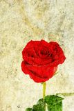 Rose on grunge background Royalty Free Stock Photo