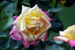 Rose híbrida colorida Fotos de archivo libres de regalías