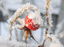 Rose höft under snowen Fotografering för Bildbyråer