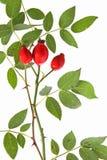 Rose höfter av det wild steg (den Rosa caninaen) Royaltyfri Bild