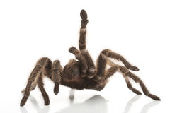 Rose Hair Tarantula Royaltyfria Foton