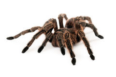 Rose Hair Tarantula Royaltyfri Bild
