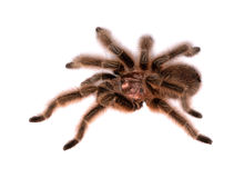 Rose Hair Tarantula Lizenzfreies Stockfoto
