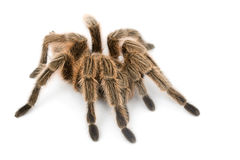 Rose Hair Tarantula Stock Photos