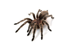 Rose Hair Tarantula Royalty Free Stock Images