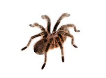 Rose hair tarantula Royalty Free Stock Photos