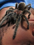 Rose hair tarantula on face Royalty Free Stock Images