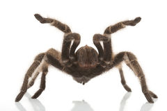 Rose Hair Tarantula Royalty Free Stock Photography
