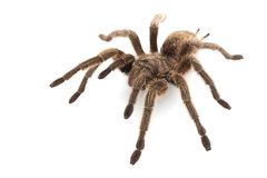 Rose Hair Tarantula Stock Images