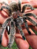 Rose hair tarantula in hand 2 Stock Photo