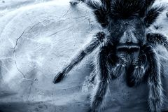 Rose-hair Tarantula Spider Stock Photo
