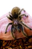 Rose hair Tarantula Spider crawling Stock Image