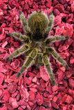 Rose-hair Tarantula Spider on Red. Hairy Rose hair tarantula spider on red background Stock Photography