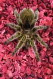 Rose-hair Tarantula Spider on Red. Hairy Rose hair tarantula spider on red background stock photography