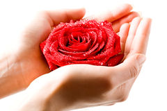 Rose in hand Stock Image
