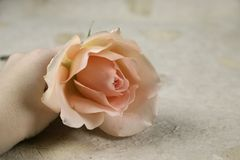A rose and a hand. A female hand holding a pink rose stock photos