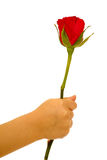 Rose in hand on white background Stock Image
