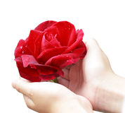 Rose and Hands Stock Image