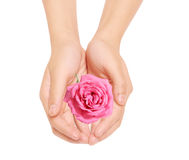 Rose and hands Stock Photo