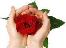 Rose in  hands Royalty Free Stock Image