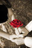 Rose in hands of lovers Stock Images