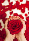 Rose in hands; Royalty Free Stock Image