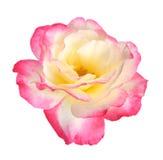 Rose head Stock Photography