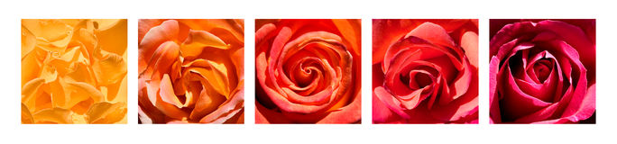 Rose Hearts Rainbow Stock Photography