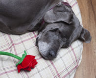Rose on her pillow Stock Image