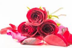 Rose hermosa Foto de archivo