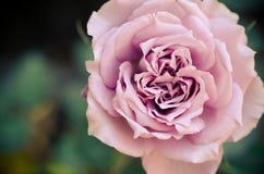Rose hermosa Fotografía de archivo libre de regalías