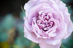 Rose hermosa Imagenes de archivo