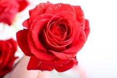 Rose hermosa Imagen de archivo libre de regalías