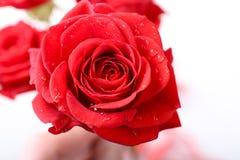 Rose hermosa Imágenes de archivo libres de regalías