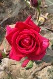Rose hermosa Fotografía de archivo