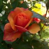 Rose hermosa Fotos de archivo libres de regalías