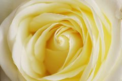 Rose hermosa amarilla en el norte de Tailandia Fotos de archivo