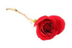 Rose hermosa roja Fotografía de archivo libre de regalías