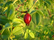 Rose hip Royalty Free Stock Photography