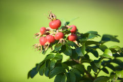 Rose Hip Stock Image