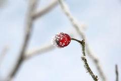 A rose hip. In the ice Royalty Free Stock Photography