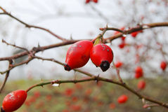 Rose hip Stock Photos